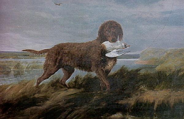 Tweed Water Spaniel Dog