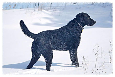 curly coated retriever in snow