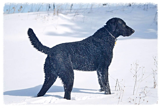 A black curly coated retriever dog standing in snow.