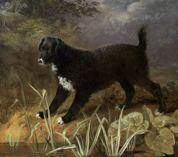 "English Water Spaniel ""Tim"""