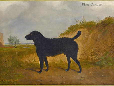 Hello AKC: More Curly Coated Retriever History for You