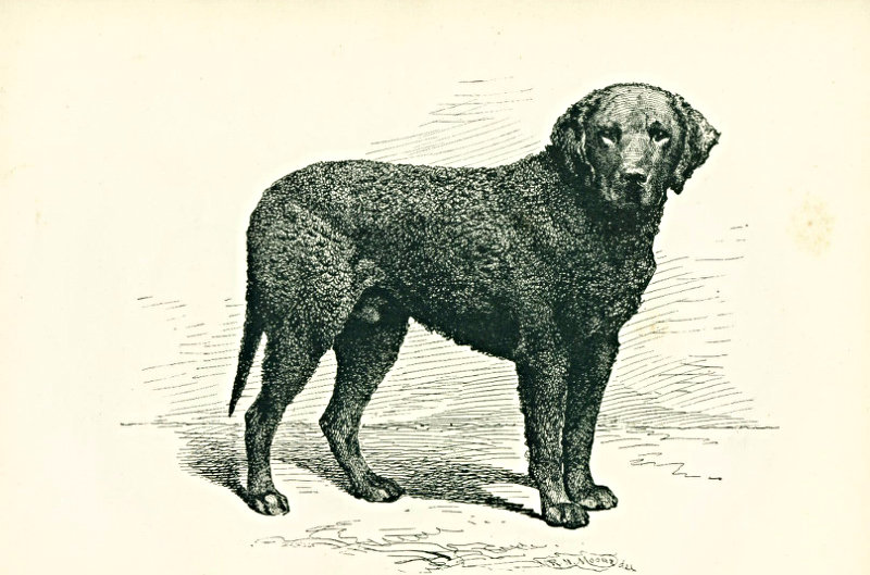 Lyonel, an English curly-coated retriever and first prize winner,
