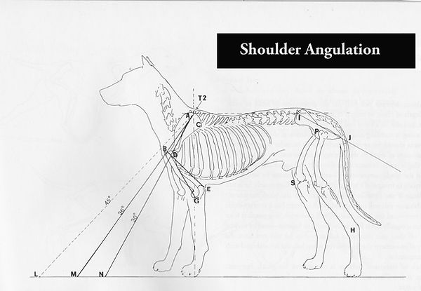 Dog Shoulder Angulaton and related front leg extension diagram