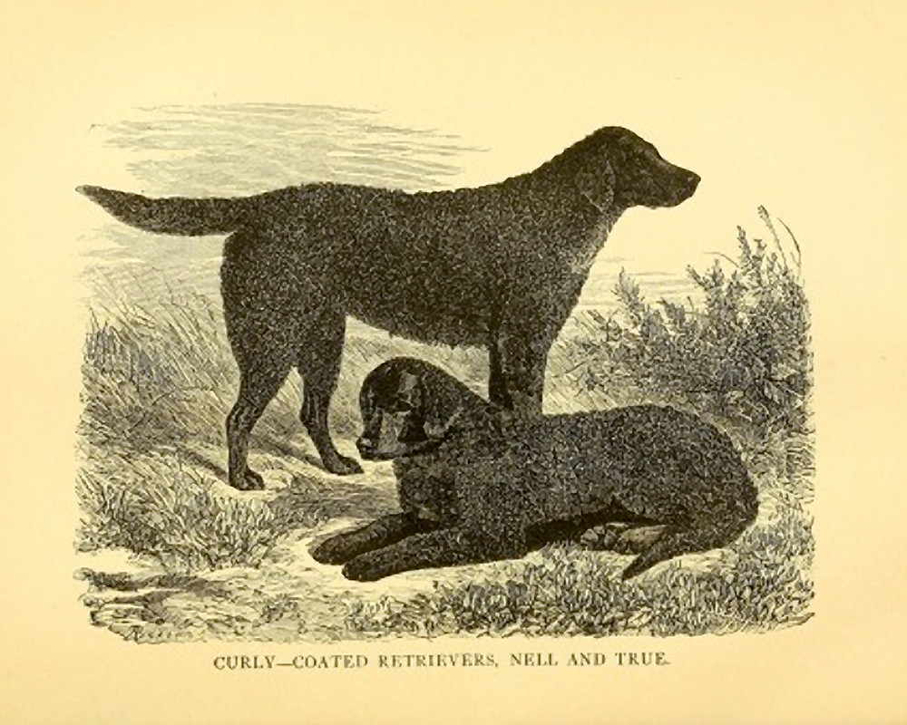 Etching of the curly-coated retrievers True and Nell. Circa 1879. Planetcurly.com