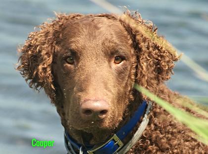curly coated retriever head closeup showing long ear hair