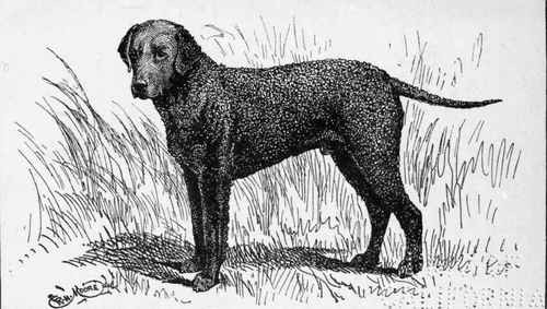 Illustration of curly coated retriever Tiverton Best Lad.