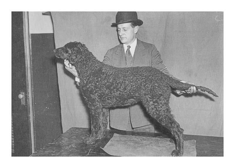 Photo of Curly Coated Retriever Dennington Mayfly of Marvadel Westminster KC 1936