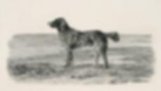 Irish Water Spaniel circa 1855