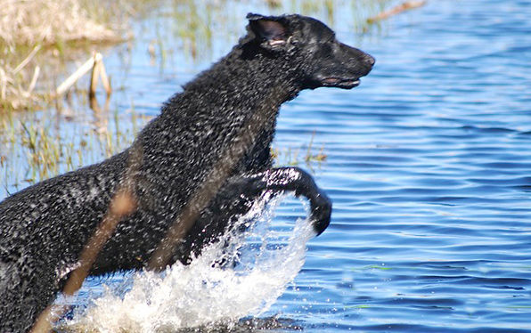 curly coated retriever launches into water to make a retrieve.