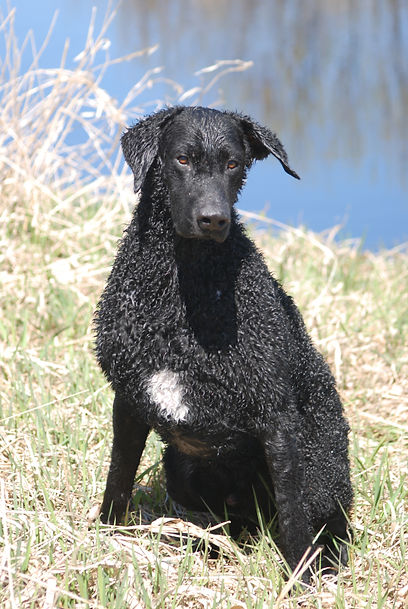 Black curly-coated retriever with a white spot on breast.