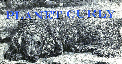 Planetcurly.com graphic of curly coated retriever.