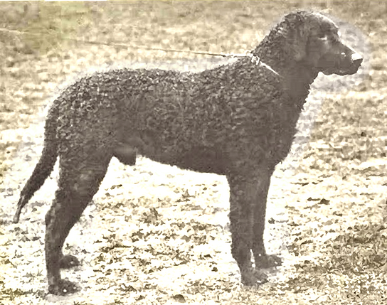 Curly-coated retriever Bonnacord Darkie, circa 1905.