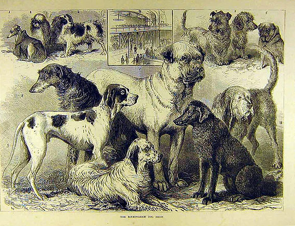 Curly-coated retriever and other dogs at the 1862 Birmingham, UK, dog show. Illustration from the Illustrated London News.