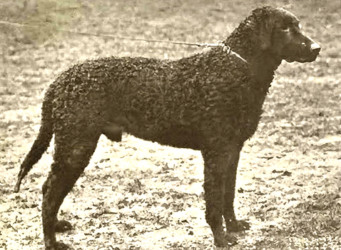 A Curly coated Retriever circa 1904.