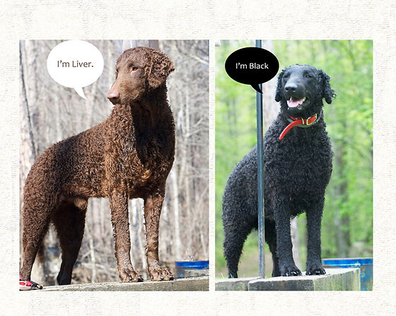 Curly coated retriever: A liver and a black curly-coated retriever.