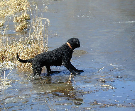 curly coated retriever standing on an ice shelf