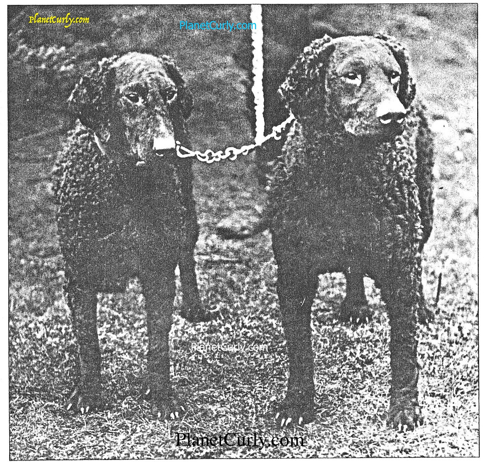 Photograph of curly coated retrievers Welton Lady and Welton Nigger. Circa 1910. PlanetCurly.com
