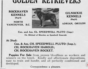 Ad for golden retriever stud dogs including Speedwell Pluto.