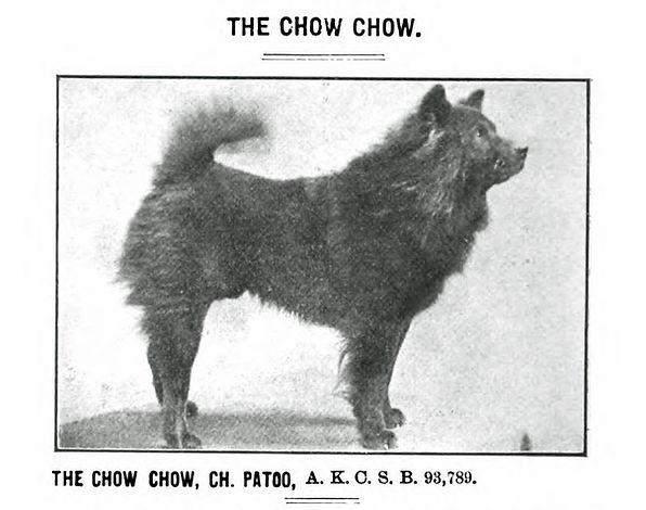 Chow chow dog Ch Patoo photo