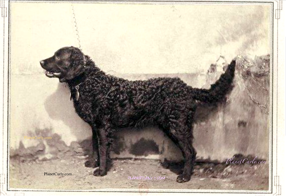 Photo of the curly coated retriever Royal at the 1863 Paris Dog show.