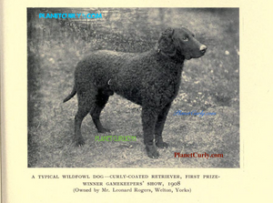 A powerfully built curly coated retriever dog stands alert at the end of a chain.