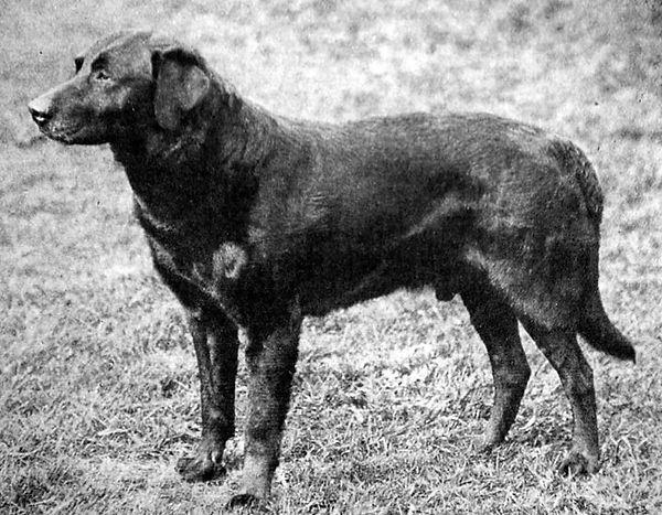 Labrador retriever Buccleuch Daniel