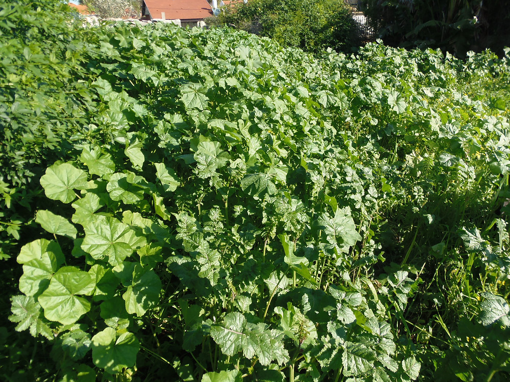 חלמית- חובייזה- תוספת ירק למאכל
