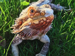 Tips for parenting a bearded dragon