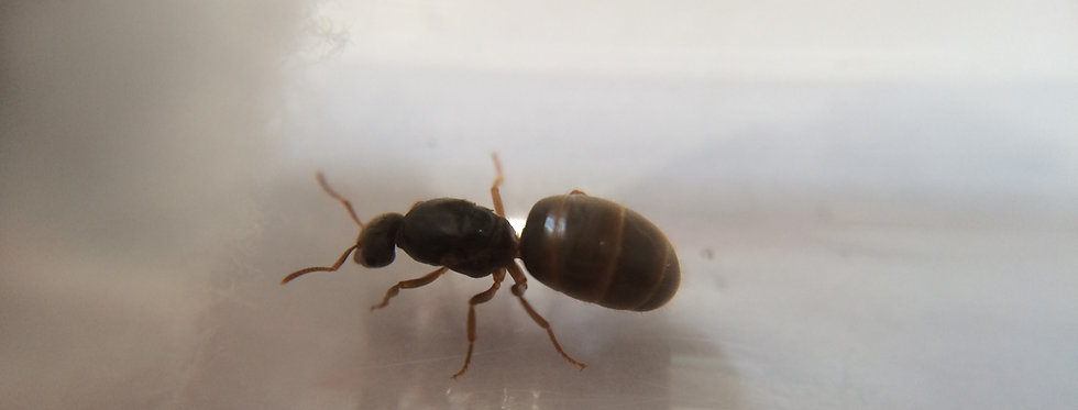 Lasius Niger (Black Garden Ant) - Includes Care Guide