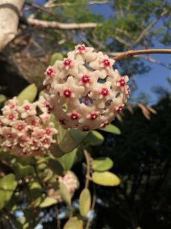 Hoya Vine