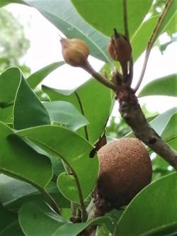Chico Fruit Tree