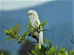 Fluffy Cockatoo
