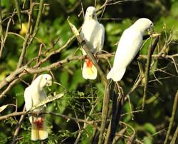 Cockatoo Family