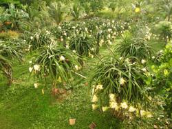 Dragon Fruit Blooms