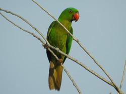 Palawan Parrot
