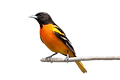 oriole_edited.png