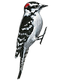 woodpecker%20downy_edited.png