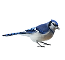 bluejay_edited.png