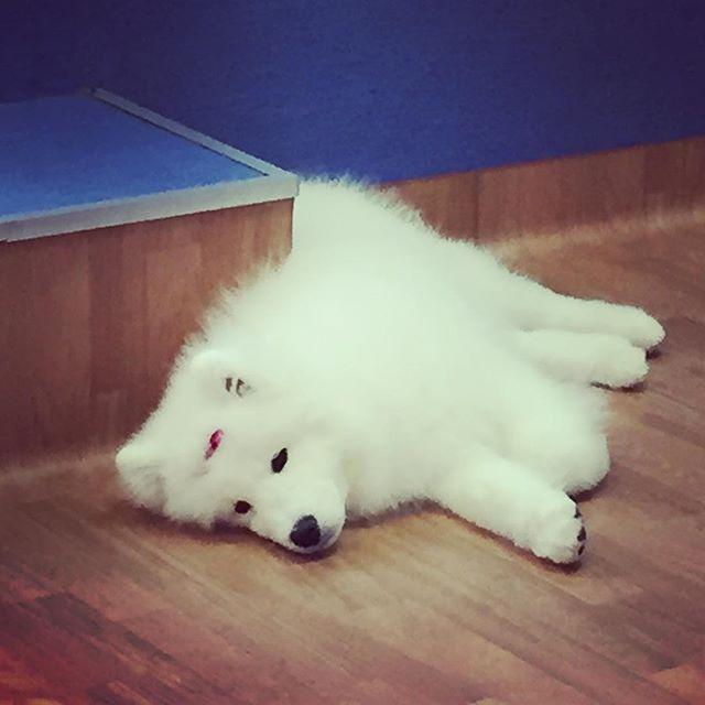 Looking good is sooooo exhausting! 🐩🐾🐩