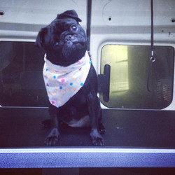 Watcho looking at_! 🙊🙊 _stannisthepug