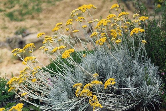 Hélichryse italienne - Immortelle Bio