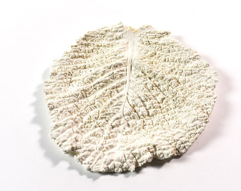 White Cabbage Leaf