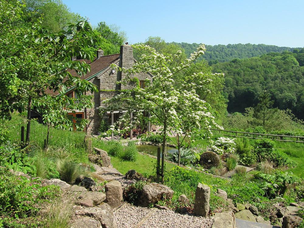 The native hawthorn tree, Crataegus monogyna in an informal hillside garden in Wales.