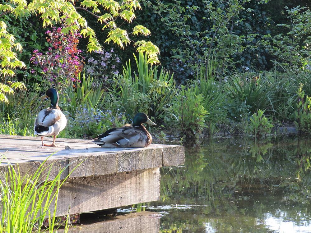 Wild mallard ducks at home on a deck over a garden pond.