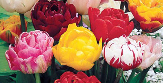 DOUBLE LATE TULIP BULBS - PACK OF 10