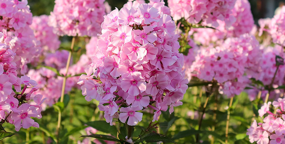 DOUBLE PHLOX BARE ROOT - PACK OF 3