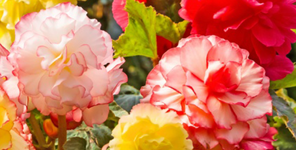GIANT BEGONIAS - PACK OF 3