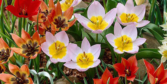GROUND COVER MIXED TULIP BULBS - PACK OF 12
