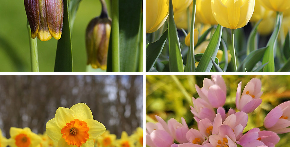 SUNNY FLOWER BULB COLLECTION - PACK OF 45