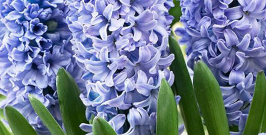 BLUE TANGO DOUBLE HYACINTH FLOWER BULBS - PACK OF 8